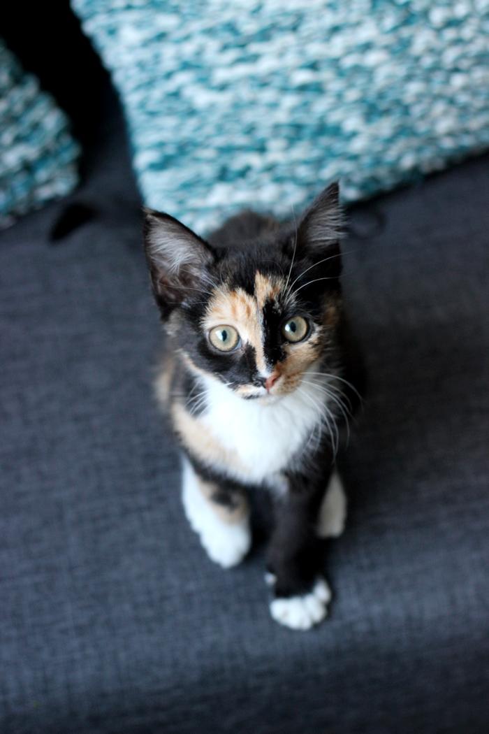 kitten nox