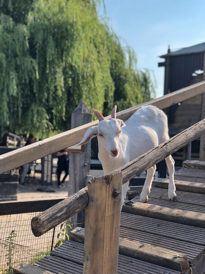 geitenyoga Geitenboerderij Ridammerhoeve amsterdam amsterdamse bos geiten yoga cadeautip yogalesje