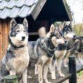 Huskytocht lowland pack ervaring recensie review huskytocht limburg lowland pack